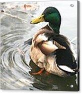 Duck Beauty Acrylic Print by Valia Bradshaw