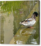 Duck On A Ledge Acrylic Print by Silvie Kendall