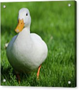 Duck On Grass Acrylic Print by Mats Silvan