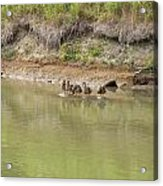 Ducks In A Row Acrylic Print by Corinne Elizabeth Cowherd