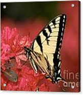 Eastern Yellow Tiger Swallowtail And Azaleas Acrylic Print by Lara Ellis