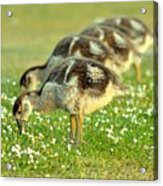 Egyptian Goslings Acrylic Print by Pallab Seth