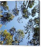 Eucalyptus Acrylic Print by Carlos Caetano