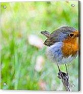 European Robin Acrylic Print by Photostock-israel
