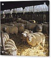 Ewes Acrylic Print by David Aubrey