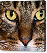 Face Framed Feline Acrylic Print by Art Dingo