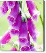Faerie Bells Acrylic Print by Rory Sagner