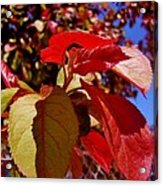 Fall Leaves Acrylic Print by Aliesha Fisher