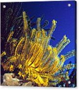 Featherstars On Coral Acrylic Print by Peter Scoones