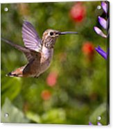 Female Allen's Hummingbird Acrylic Print by Mike Herdering