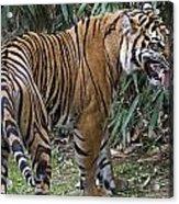 Ferocious Tiger Acrylic Print by Brendan Reals