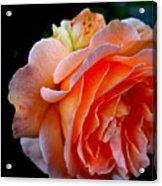 Feuerrose Acrylic Print by Photo by Ela2007