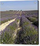 Field Of Lavender. Valensole. Provence Acrylic Print by Bernard Jaubert