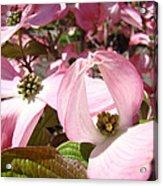 Fine Art Prints Pink Dogwood Flowers Acrylic Print by Baslee Troutman