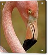 Flamingo Head Acrylic Print by Carlos Caetano