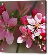 Flowering Crabapple Detail Acrylic Print by Mark J Seefeldt