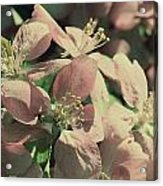 Flowering Crabapple Muted Acrylic Print by Mark J Seefeldt