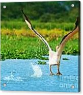 Flying Great White Pelican Acrylic Print by Anna Omelchenko