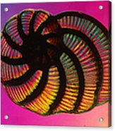 Foraminifer Acrylic Print by Eric V. Grave