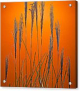 Fountain Grass In Orange Acrylic Print by Steve Gadomski