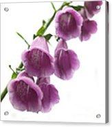 Foxglove Flowers Acrylic Print by Tony Cordoza