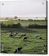 Friesian Bullocks, Ireland Herd Of Acrylic Print by The Irish Image Collection