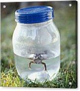 Frog In A Jar Acrylic Print by Adam Crowley