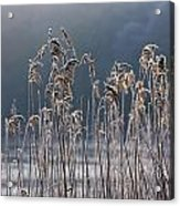 Frozen Reeds At The Shore Of A Lake Acrylic Print by John Short