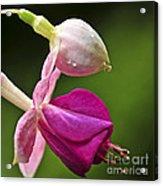 Fuchsia Flower Acrylic Print by Elena Elisseeva