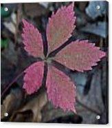 Fushia Leaf Acrylic Print by Douglas Barnett