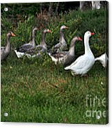 Gaggle Of Geese Acrylic Print by Kaye Menner