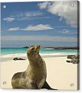 Galapagos Sea Lions Resting On A White Acrylic Print by Annie Griffiths