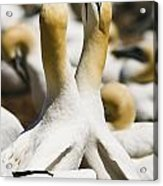Gannets, Parc National De Acrylic Print by Yves Marcoux