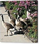 Garden Geese Parade Acrylic Print by Susan Herber