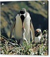 Gentoo Penguin Feeding Chick Acrylic Print by Charlotte Main