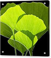 Ginkgo Leaves Acrylic Print by Pasieka