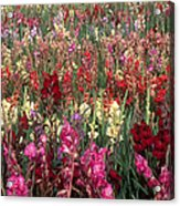 Gladioli Garden In Early Fall Acrylic Print by Yva Momatiuk and John Eastcott and Photo Researchers