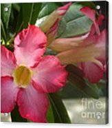 Glimmer Of Pink Acrylic Print by Sharon Wood