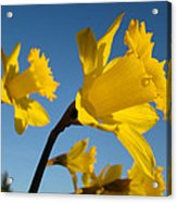 Glowing Yellow Daffodil Flowers Art Prints Spring Acrylic Print by Baslee Troutman