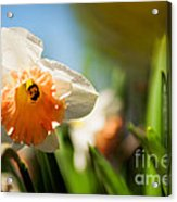 Golden Daffodils  Acrylic Print by Venura Herath
