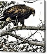 Golden Eagle Watches Acrylic Print by Don Mann