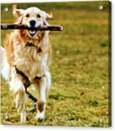 Golden Retreiver With Stick Acrylic Print by Stephen O'Byrne