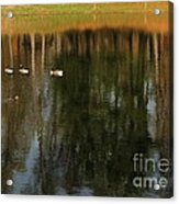 Goose Goose Duck Goose Acrylic Print by Trish Hale