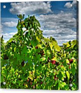Grape Vines Up Close Acrylic Print by Steven Ainsworth