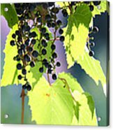 Grapes And Leaves Acrylic Print by Michal Boubin