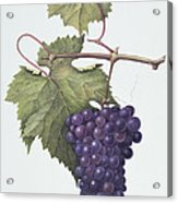 Grapes  Acrylic Print by Margaret Ann Eden