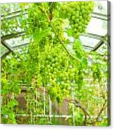Grapevine Acrylic Print by Tom Gowanlock