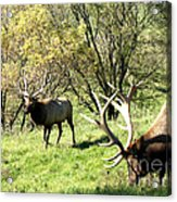 Grazing Elk  Acrylic Print by The Kepharts