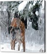 Great Dane Rufus Looking Into A Blizzard Acrylic Print by Lila Fisher-Wenzel