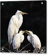 Great Egret In Nest With Young Acrylic Print by Natural Selection David Ponton